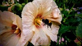 Abeille dans les roses trémière Photographie stock libre de droits
