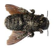 Abeille de charpentier femelle couverte de textures de pollen Photo libre de droits