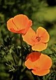 Abeille de fleur de pavot photo stock