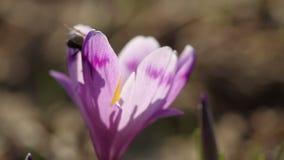 Abeille de Honney sur la fleur de crocus au printemps dans la faune à la lumière du soleil banque de vidéos