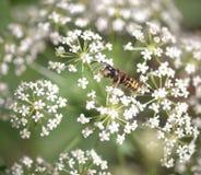 Abeille de miel Photographie stock libre de droits