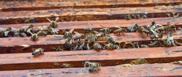 Abeille de miel photos stock