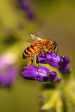 Abeille de miel Images stock