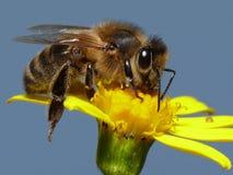 Abeille de miel photo stock