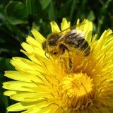 Abeille de miel Photos libres de droits