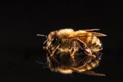 Abeille de miel avec la réflexion d'isolement sur le noir Images stock