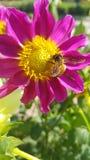 Abeille de miel dans l'action image stock