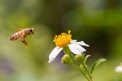 Abeille de miel de vol Photo libre de droits