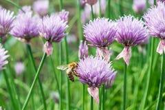 Abeille de miel de vol sur la fleur sauvage de floraison de ciboulette Photographie stock libre de droits