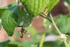 Abeille de miel de vol sur la fleur sauvage de floraison de ciboulette Photo stock