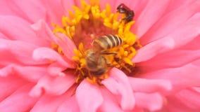 Abeille de miel en fleur rose de zinnia banque de vidéos