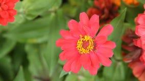 Abeille de miel en fleur rouge de zinnia banque de vidéos