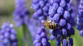 Abeille de miel en fleurs de muscari clips vidéos
