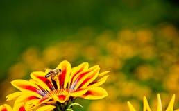 Abeille de miel en vol près des fleurs jaunes et oranges Photographie stock libre de droits