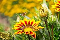 Abeille de miel en vol près des fleurs jaunes et oranges Photographie stock