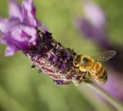 Abeille de miel, mellifera d'api photographie stock