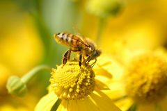 Abeille de miel, mellifera d'api photo libre de droits