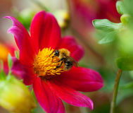 Abeille de miel (mellifera d'api) sur la fleur de dahlia Photographie stock libre de droits