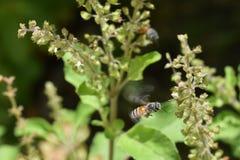 Abeille de miel planant Image libre de droits