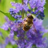 Abeille de miel pollinisant sur la fleur pourpre images libres de droits