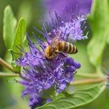 Abeille de miel pollinisant sur la fleur pourpre photo stock