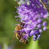 Abeille de miel pollinisant sur la fleur pourpre photographie stock libre de droits