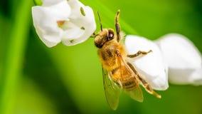 Abeille de miel rassemblant le nectar Images stock