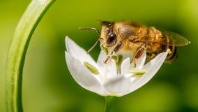 Abeille de miel rassemblant le nectar Photographie stock libre de droits
