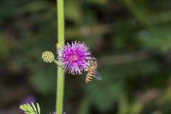 Abeille de miel rassemblant le nectar de fleur Image libre de droits