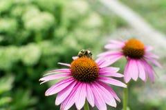 Abeille de miel rassemblant le nectar sur la fleur pourpre Image stock
