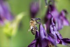 Abeille de miel recherchant la nourriture Photographie stock libre de droits