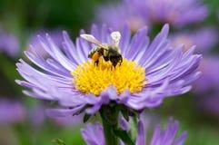 Abeille de miel sur l'aster bleu image libre de droits