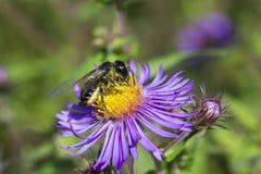 Abeille de miel sur l'aster sauvage Images stock