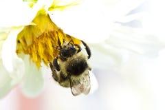 Abeille de miel sur la fleur Photo libre de droits