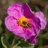 Abeille de miel sur la fleur Images libres de droits