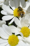 Abeille de miel sur la fleur blanche Images stock