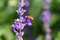 Abeille de miel sur la fleur de lavande. L'abeille de miel rassemble le pollen Photo libre de droits