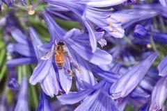 Abeille de miel sur la fleur pourpre d'agapanthus Photographie stock libre de droits