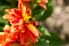 Abeille de miel sur la fleur rouge Photographie stock libre de droits