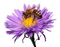 Abeille de miel sur la fleur violette d'isolement sur le fond blanc image libre de droits
