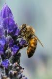 Abeille de miel sur la lavande Photographie stock