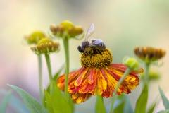 Abeille de miel sur la mariée rouge du soleil Photos libres de droits
