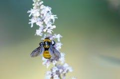 Abeille de miel sur le buisson de papillon blanc Images stock
