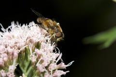 Abeille de miel sur le macro de fleur Photo stock