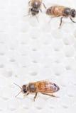 Abeille de miel sur le peigne blanc de miel Images stock