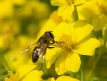 Abeille de miel sur une fleur Photographie stock libre de droits
