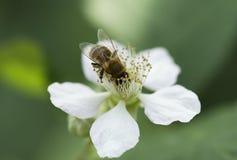 Abeille de miel sur une fleur blanche Photographie stock libre de droits