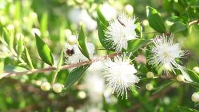 Abeille de miel sur une fleur blanche banque de vidéos
