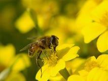 Abeille de miel sur une fleur jaune Image stock