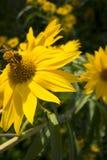 Abeille de miel sur une grande marguerite jaune avec le fond feuillu vert-foncé de jardin images libres de droits